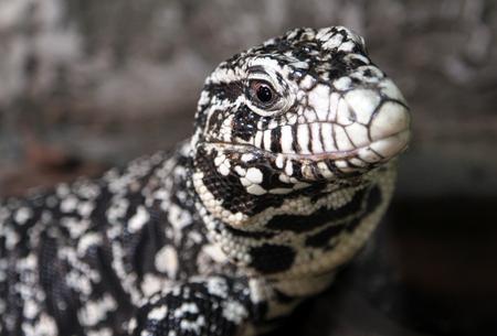 Black and White Tegu (Salvator merianae) Stock Photo