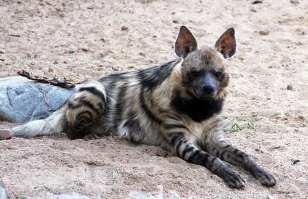 Portrait of striped hyena (Hyaena hyaena) Stockfoto