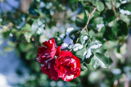 Rosenbusch mit Schnee bedeckt. Wintergarten