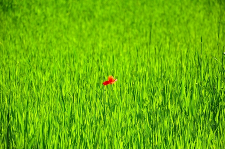 a lone red flower on green meadow