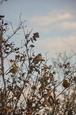 redbreast: three birds resting on a twigs