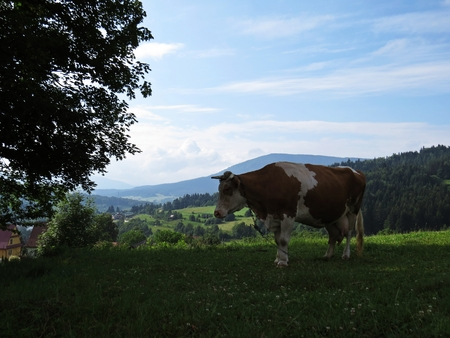 Cow Standing on a Mountain Meadow with a View at Beautiful Mountains and Clouds