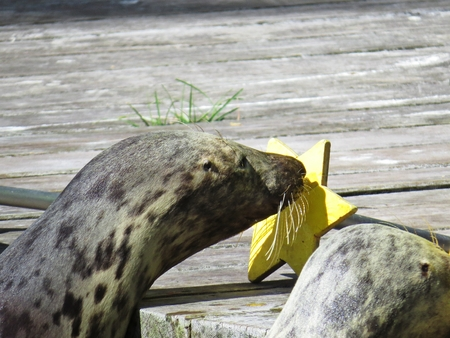 Adorable Isolated Seal Sea Lion Head Touching a Star Target with Nose