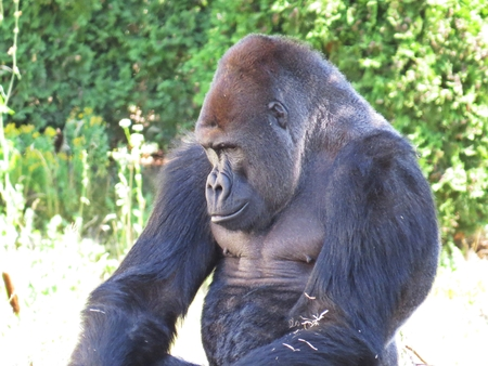 un gran aislado negro cabeza de detalle del gorila del gorila del boxeador