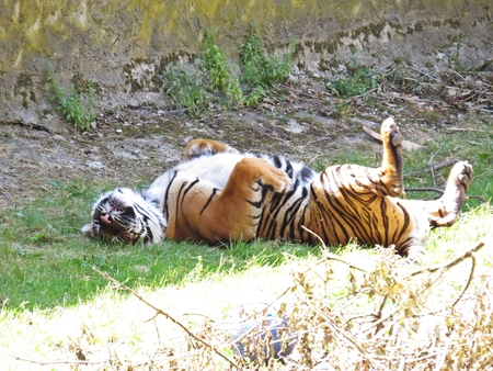 Cute Dangerous Beautiful Lovely Photographs of Tiger Hiding Lying and Playing in the Shade