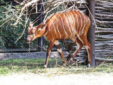 Bongo Antelope a Brown African Antelope with White Strips