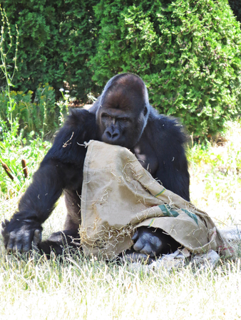 Big Strong Black Monkey Ape Gorilla Playing with a Bag