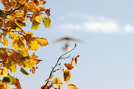 Yellow maple leaves branch and blurred motorized hang glider flying on the blue sky background