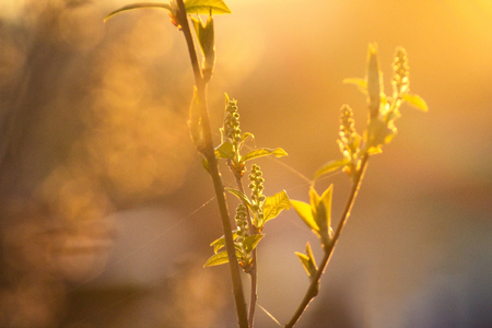 Blurred background of the green plant under the sun rays in the foggy morning. Golden glares on the green background.