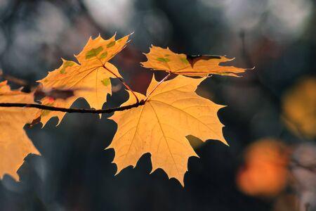 Zweige von gelben Ahornblättern isoliert auf dunklem, unscharfem Hintergrund. Goldenes Herbst- und Wetterkonzept Standard-Bild