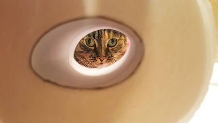 Beautiful striped cat with green eyes looking through the hole of a toilet paper 版權商用圖片