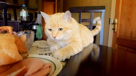 Funny red tabby cat tries to reach for sausage on a plate.