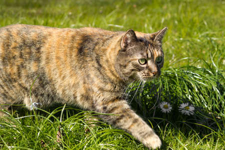 Striped cat hunting and walking on the grass outside