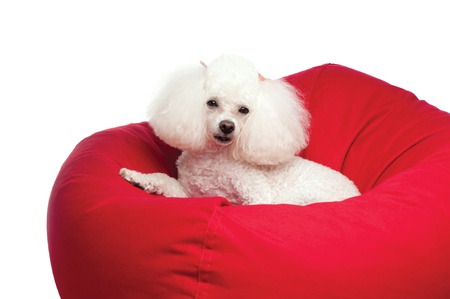 A cute, white toy poodle lying in a red bean bag chair  Shot in the studio on an isolated white seamless backdrop