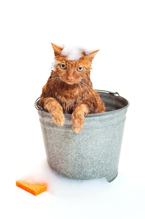 Bath time for a wet and unhappy orange Tabby cat sitting inside of a galvanized steel wash bucket with soap suds and an orange sponge  Shot in the studio and isolated on a white background
