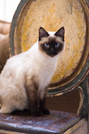 regal: A Seal Point Siamese cat sitting on a rustic chair and looking at the camera   Stock Photo
