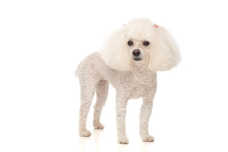An adorable, white toy poodle standing on a seamless white background