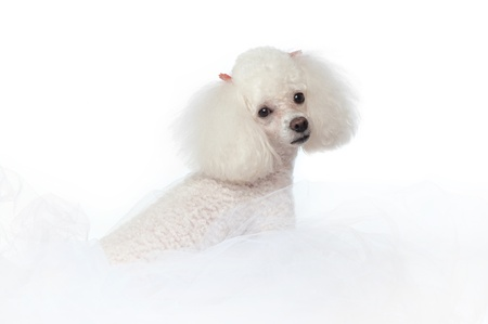 An adorable white toy poodle nestled in white tulle fabric  Shot in the studio isolated on a white seamless backdrop