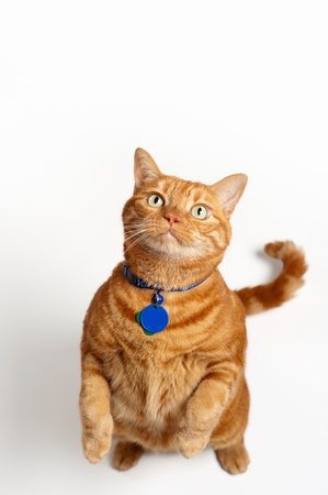 An overweight orange tabby cat wearing a collar and tags, stands up and begs  Shot in the studio on a white backdrop   photo