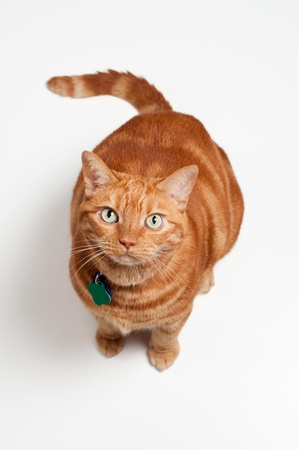 An overweight orange tabby cat sitting and looking up  Shot in the studio on a white backdrop   photo