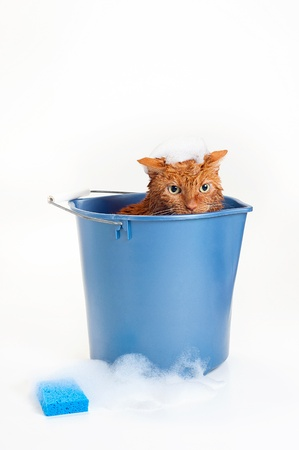 Bath time for a wet and unhappy orange Tabby cat sitting inside of a blue plastic wash bucket with suds and a blue sponge