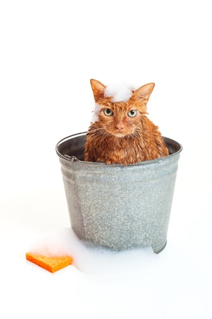 Bath time for a wet and unhappy orange Tabby cat sitting inside of a galvanized steel wash bucket with suds and an orange sponge  Shot in the studio and isolated on a white background