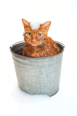 angry cat: Bath time for a wet and unhappy orange Tabby cat sitting inside of a galvanized steel wash bucket with suds on his head and ground  Shot in the studio and isolated on a white background