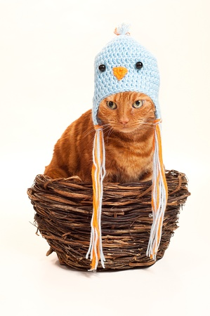 disguised: An orange Tabby cat sitting in a nest disguised as a bird  He is wearing a crocheted bird hat   costume  Shot in the studio and isolated on a white background   Stock Photo