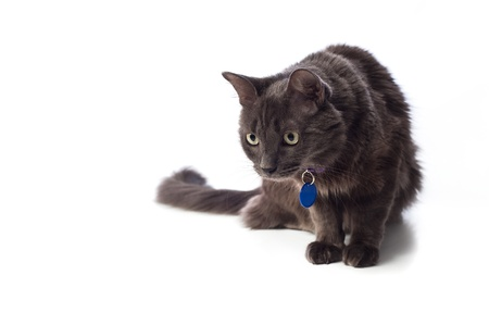 grey cat: Grey Cat Stalking