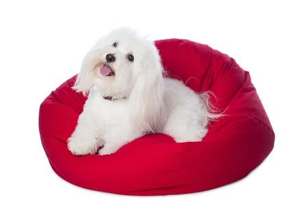 beanbag: White Dog Lying on Red Bean Bag