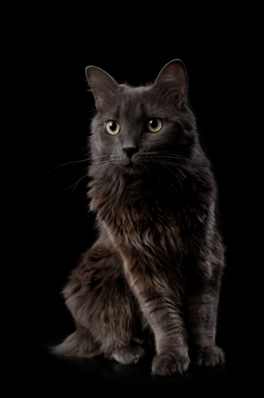 Studio shot of a grey Nebelung cat isolated on black. The Nebelung is a rare breed, similar to a Russian Blue, except with medium length, silky hair.