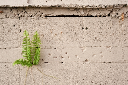 A fern plant growing from a cement block wall  Composed to include copy space