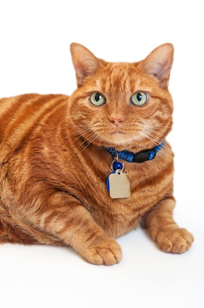 Portrait of an overweight, orange Tabby cat wearing a blue collar and tags. Shot in the studio, isolated on a white background.