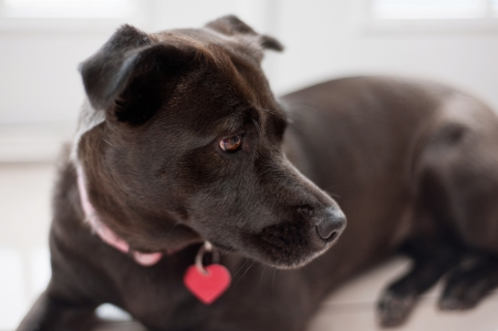 A close-up profile view of a female, black mixed-breed dog wearing a pink collar and red, heart shaped dog tag. Standard-Bild