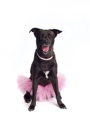 A happy, smiling, black, mixed-breed dog wearing a ballerina costume, consisting of a pink tutu and a pink pearl necklace.