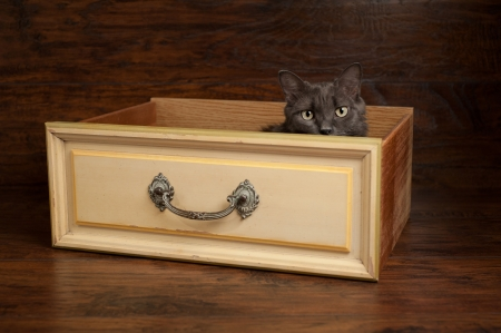 Studio shot of a gray Nebelung cat peeking out of a vintage yellow drawer. The Nebelung is a rare breed, similar to a Russian Blue, except with medium length, silky hair. Banco de Imagens
