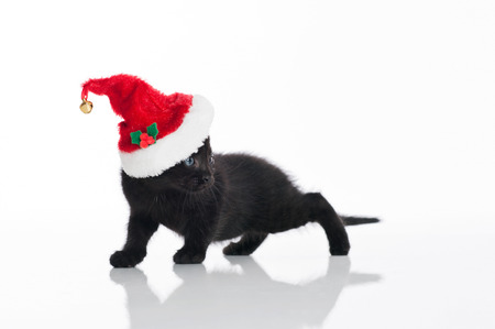 A black Tabby kitten wearing a red and white Santa hat  Shot in the studio on an isolated, white background  photo