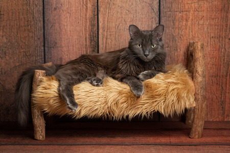 medium length: A grey Nebelung cat lying on a small rustic, wooden bed. The Nebelung is a rare breed, similar to a Russian Blue, except with medium length, silky hair. Shot in the studio on a weathered wood background. Stock Photo