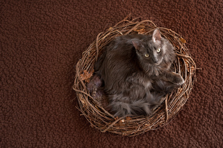 silky hair: An overhead shot of a grey Nebelung cat lying in a large nest. The Nebelung is a rare breed, similar to a Russian Blue, except with medium length, silky hair.