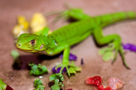 A baby Green Iguana pet surrounded by scraps of fruits and vegetation for him to eat. Shot with a shallow depth of field. Imagens