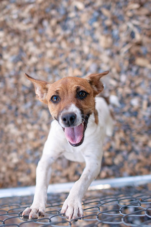rat: An overhead view of a happy, hopeful, female, Rat Terrier dog standing up and leaning on a chain link fence.