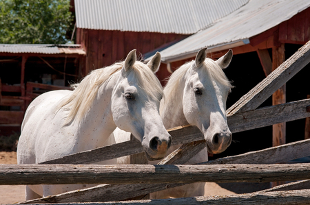 Two white, Arabian horses standing in front of a rustic, red barn. Banco de Imagens