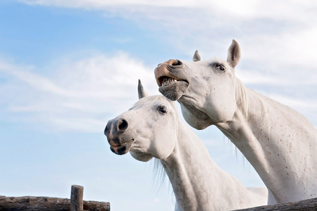 Two white, Arabian horses. One is baring its teeth.