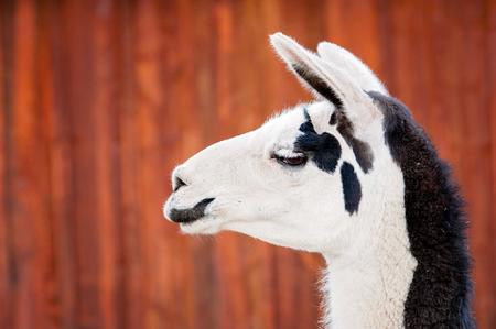 A headshot of a black and white Llama. Shot against orange, rusty, barn siding.