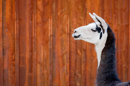A headshot of a black and white Llama. Shot against orange, rusty, barn siding.