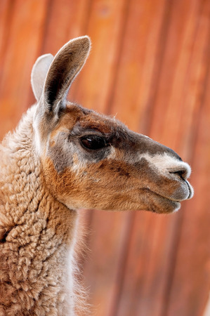 A headshot of a brown Llama. Shot against orange, rusty, barn siding.