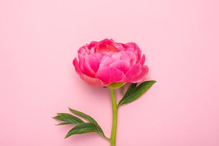 Beautiful pink peony flower on pastel pink background with copy space for your text top view and flat lay style
