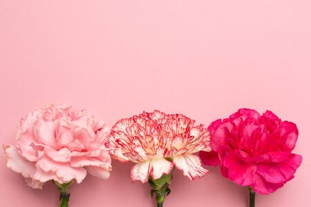 Beautiful pink carnation flowers on pink background
