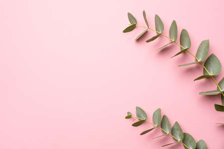 Green eucalyptus plant on a pink background with copyspace top view
