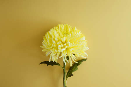 Yellow chrysanthemum on a pastel background close-up. Beautiful bright chrysanthemums bloom with shadows. Chrysanthemum background with a copy of space top view